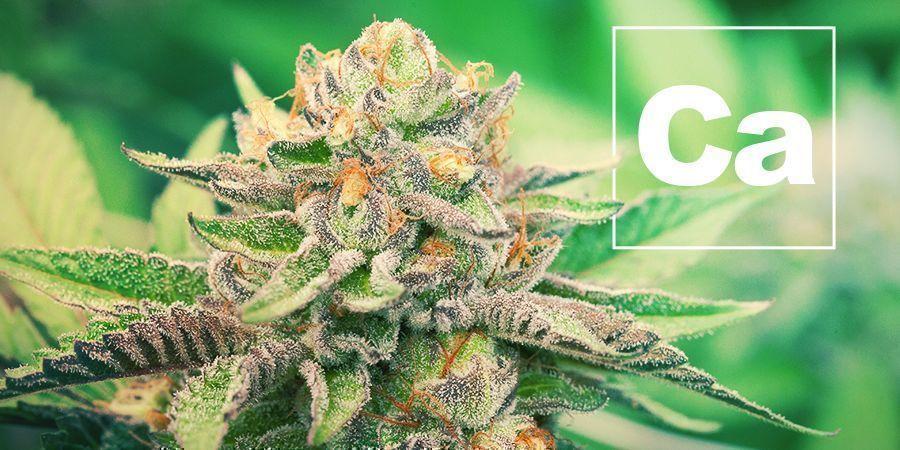 El Calcio Y La Planta De Cannabis