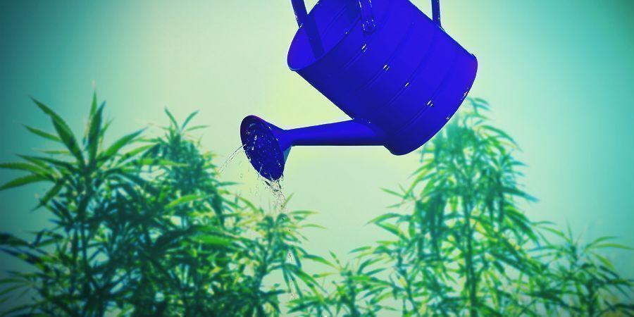 Cannabis Consejos De Cultivo Con Respecto Al Calcio