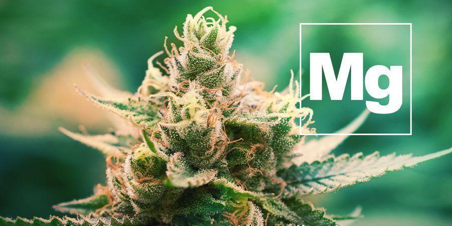 El Magnesio Y La Planta De Cannabis