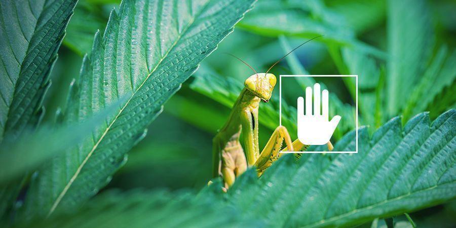 ¿Por Qué Necesitan Nitrógeno Las Plantas De Marihuana?