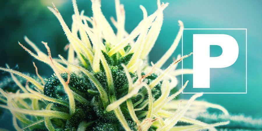 El Fósforo Y El Cultivo De Hierba