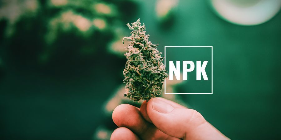 ¿Por Qué Las Plantas De Marihuana Necesitan Potasio?