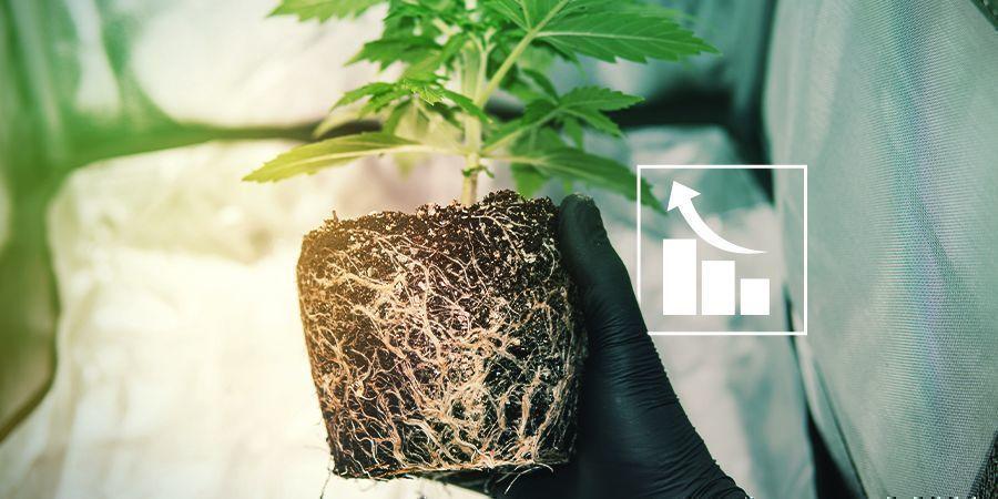 ¿Por Qué Necesitan Azufre Las Plantas de Marihuana?