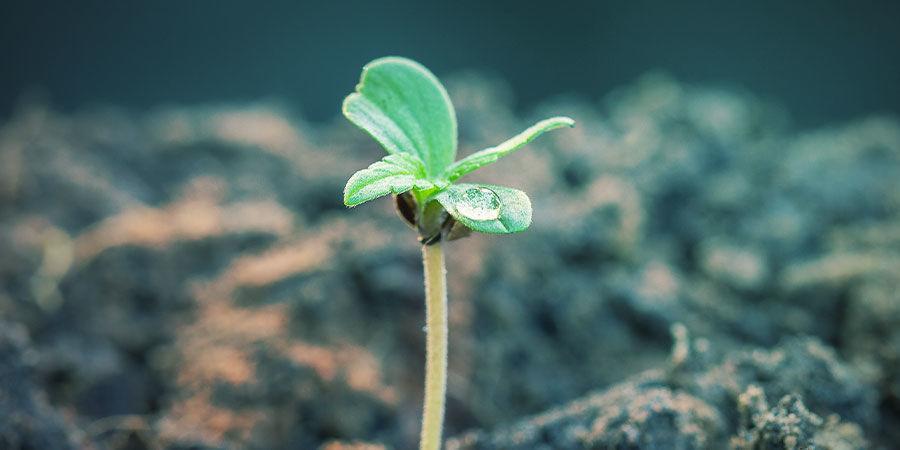 Proporción De Nutrientes NPK Para El Cannabis Según La Fase De Cultivo