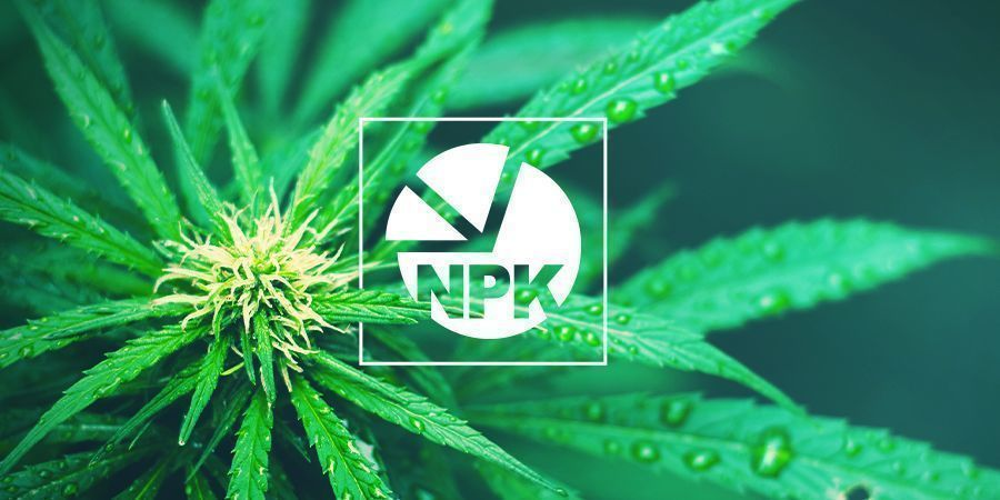 NPK: cuál es la mejor proporción para cultivar cannabis