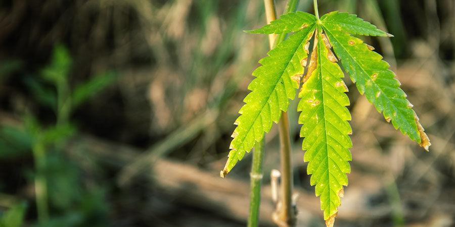 Cómo Detectar Los Problemas Derivados De La Proporción NPK Del Cannabis
