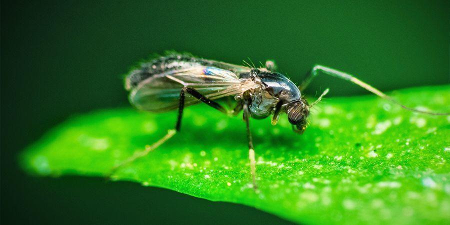 Mosquitos De Las Setas