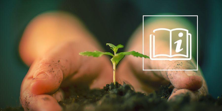 Cómo Cultivar Cannabis