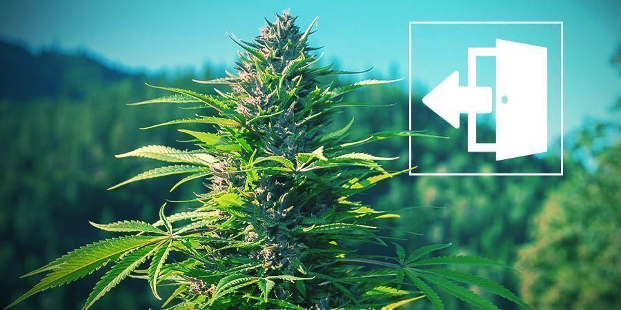 Cultivo Exterior De Marihuana