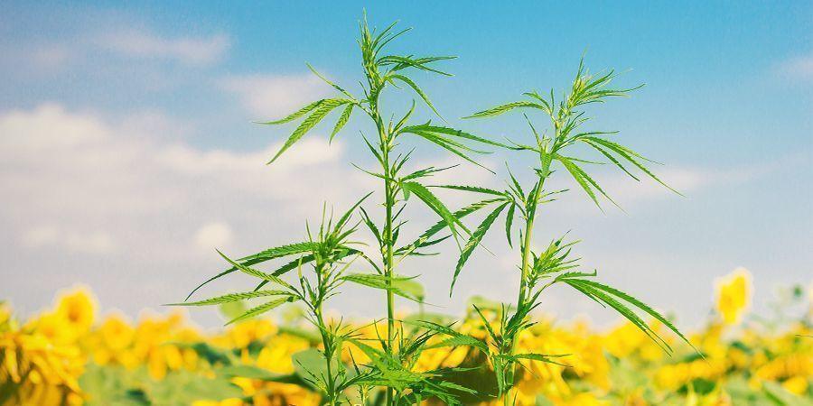 ¿Qué Son Los Cultivos Asociados Para El Cannabis?