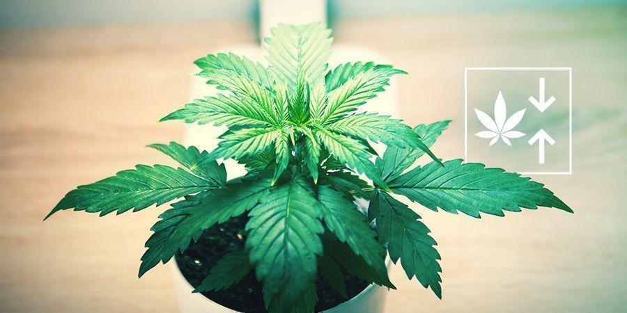 ¿Por Qué Cultivar Plantas Autoflorecientes Feminizadas?