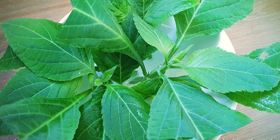 ¿Se Puede Cultivar Salvia Divinorum?