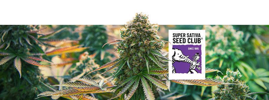 Información Sobre Super Sativa Seed Club