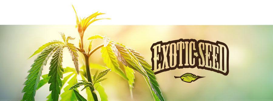 Exotic Seed - Semillas De Marihuana