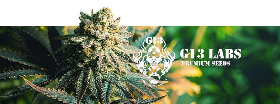 G13 Labs - semillas de marihuana