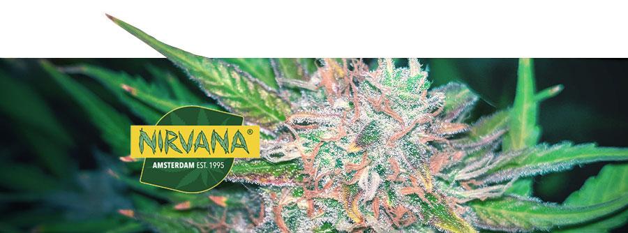 Información Sobre Nirvana Seeds
