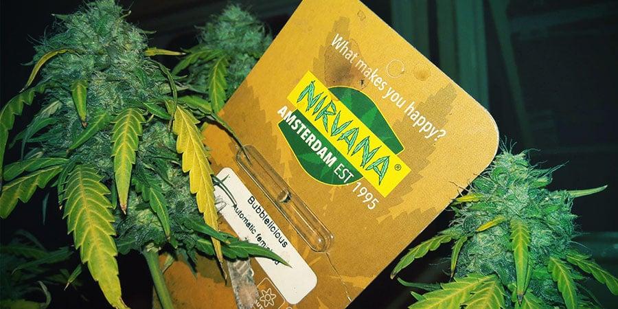 Empaquetado De Nirvana Seeds