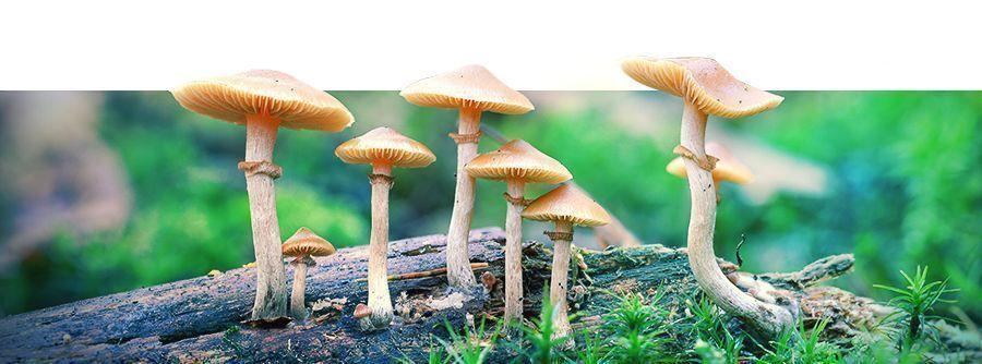 Kits De Cultivo De Setas Alucinógenas