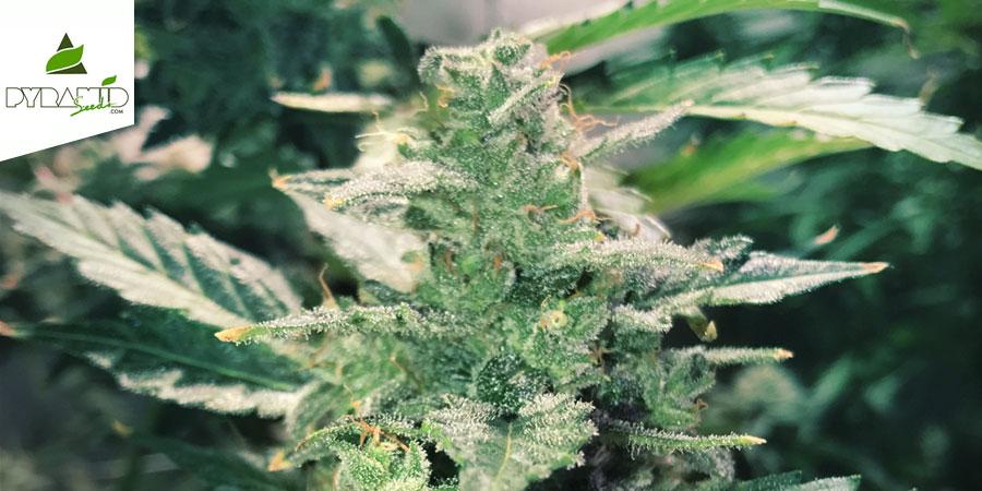 Auto Anesthesia (Pyramid Seeds) Feminizada