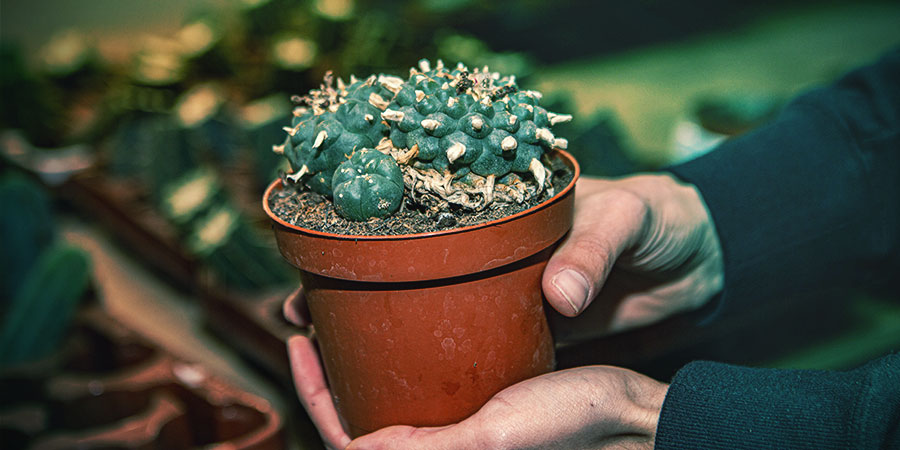 Repotting Or Transplanting A Cactus
