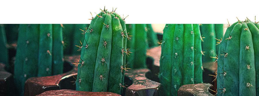 Información Sobre Los Cactus De Mescalina
