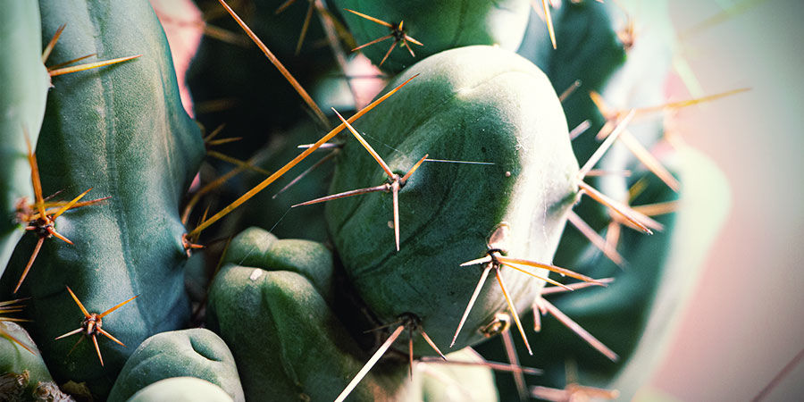 antorcha boliviana (Echinopsis lageniformis)