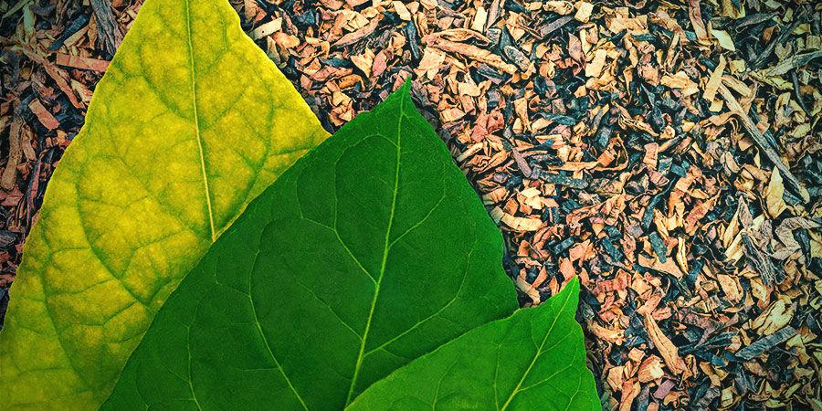 Tabaco (Nicotiana tabacum)