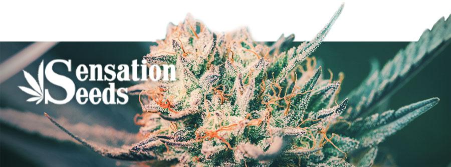 Información Sobre Sensation Seeds