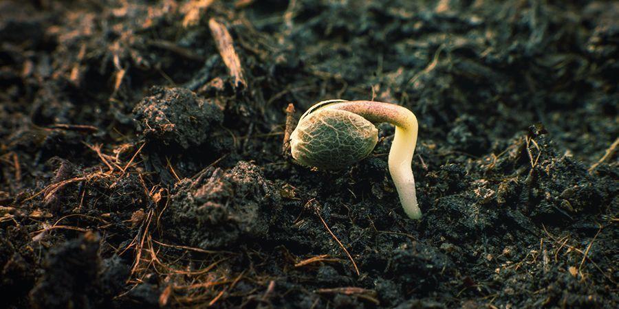 Cómo Germinar Las Semillas De Sensi Seeds