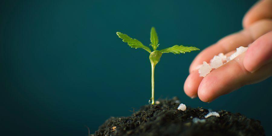 ¿Qué Son Los Fertilizantes Para Cannabis Y Por Qué Se Usan?