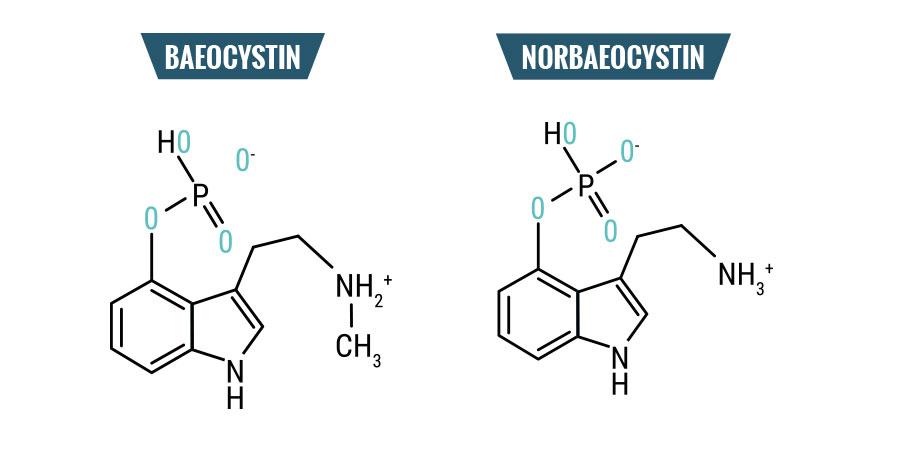 Baeocistina & Norbaeocistina