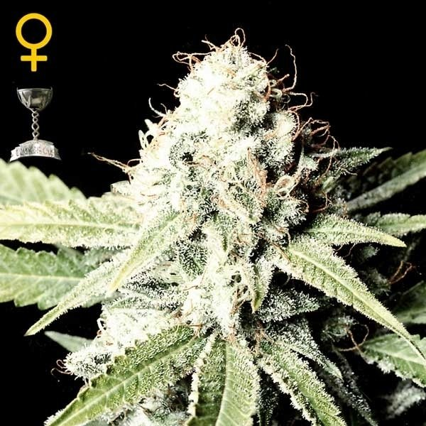 Greenhouse Seeds Great White Shark