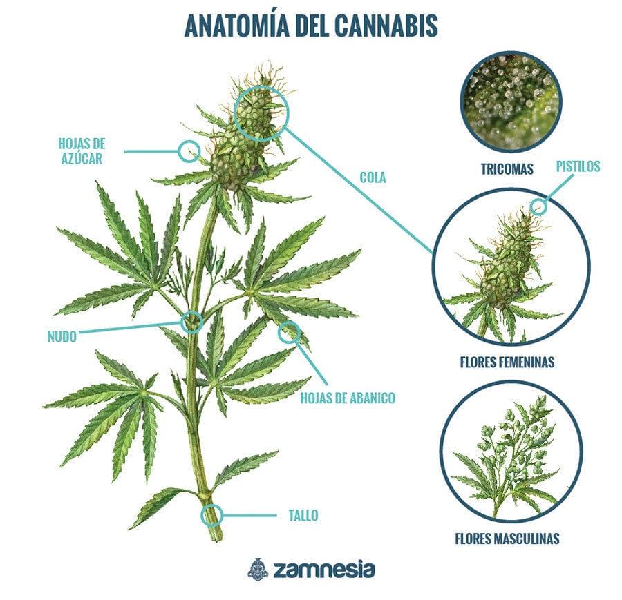 Anatomía De La Marihuana