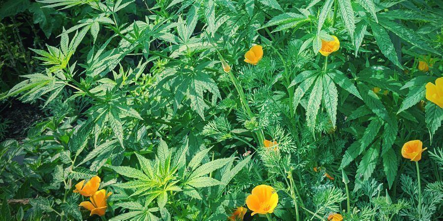 Consejos Para Aumentar Al Máximo La Cosecha Autofloreciente: Planta Cultivos Asociados