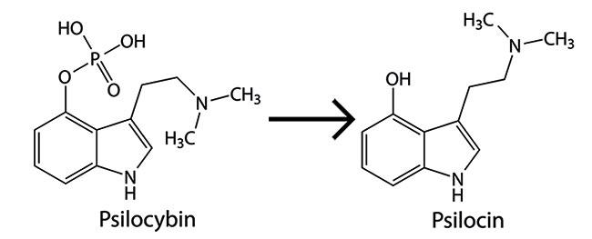 Psilocybin se convierte en psilocina
