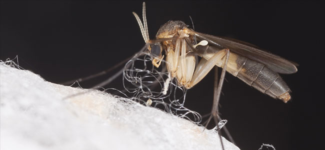 Cultivo de setas mosca