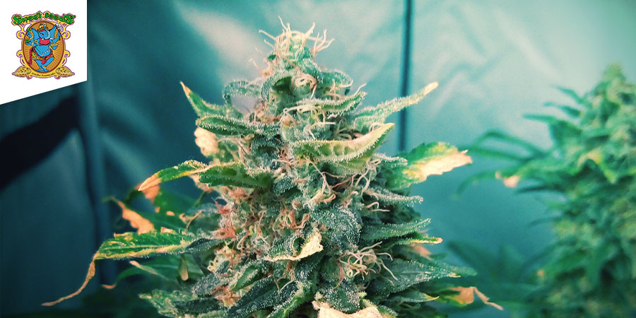 Black Jack (Sweet Seeds)