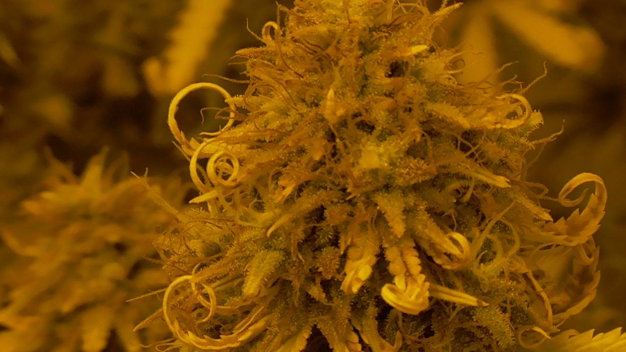 Sticky Beast Auto Close Up