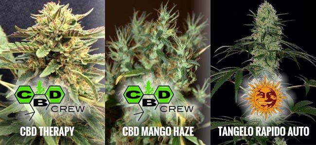 Variedades Ricas En CBD Y Bajas En THC