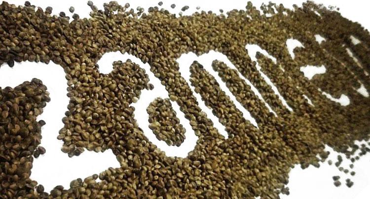 Mejor semilla de cannabis