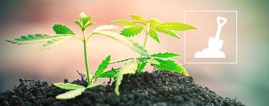 Todo Lo Que Debes Saber Sobre El Cultivo De Cannabis En Suelo
