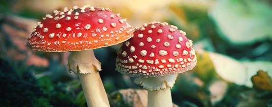 ¿Que Es La Amanita Muscaria?