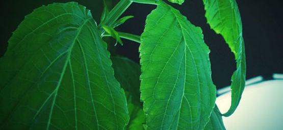 Salvia: Todo Lo Que Hay Que Saber
