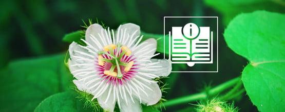 La Flor De La Pasión: Todo Lo Que Hay Que Saber