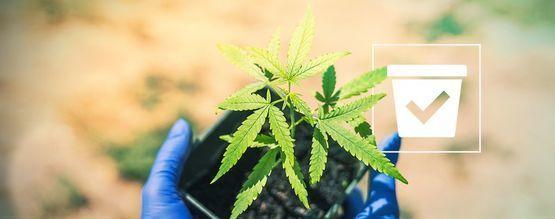 Cuál Es La Maceta Más Adecuada Para Tus Plantas De Marihuana