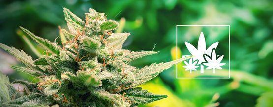 Cómo Cultivar Plantas Madre