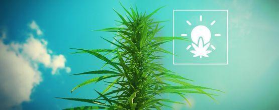 Cultivo de Marihuana en Exterior