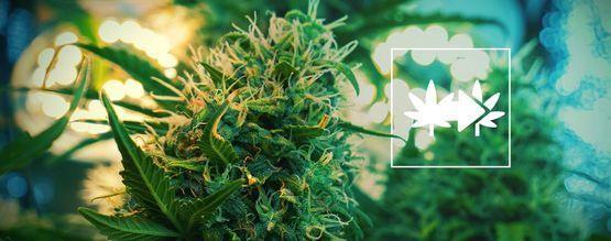 La Mejor Forma De Sacar Esquejes De Plantas De Marihuana