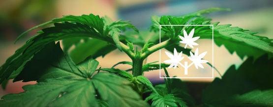 Topping (Poda Apical) Cannabis: Todo Lo Que Hay Que Saber