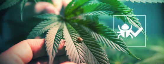 Insectos Que Ayudan A Que El Cannabis Crezca Mejor